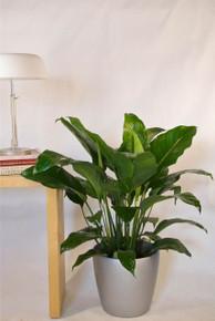 Exceptional Medium Closet Plant, Peace Lily