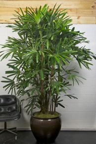 Extra Large Rhapis, Lady Palm