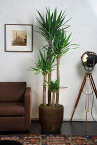 Large Yucca Cane