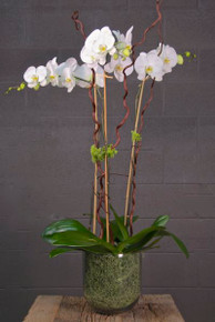 Triple White Moth Orchid Combo