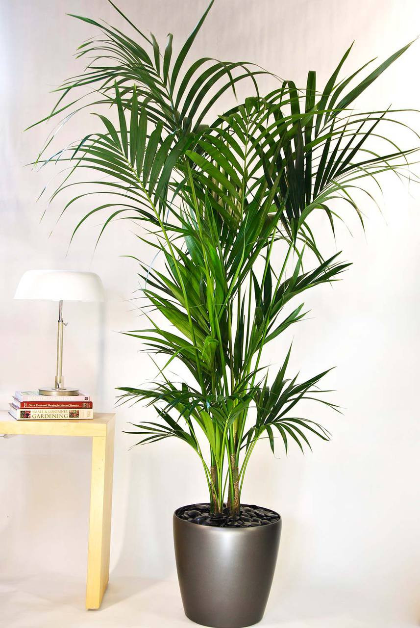 kentia palm medium houston interior plants. Black Bedroom Furniture Sets. Home Design Ideas