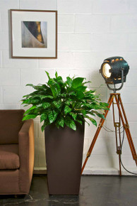 Chinese Evergreen | Large