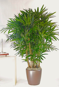 Hawaiian Rhapis Palm | Large