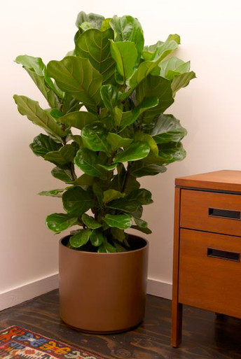 Fiddle leaf fig column houston interior plants - Ideal indoor plants ...