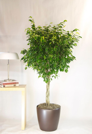 Ficus benjamina tree houston interior plants for Ficus planta interior