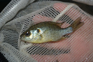 "Red Ear Sunfish 3""-4"" (Per 100)"