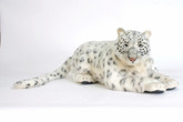 Hansa Snow Leopard, Life Size 49''L