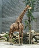 Hansa Giraffe, 12 Feet