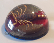 Dome Scorpion Paper Weight