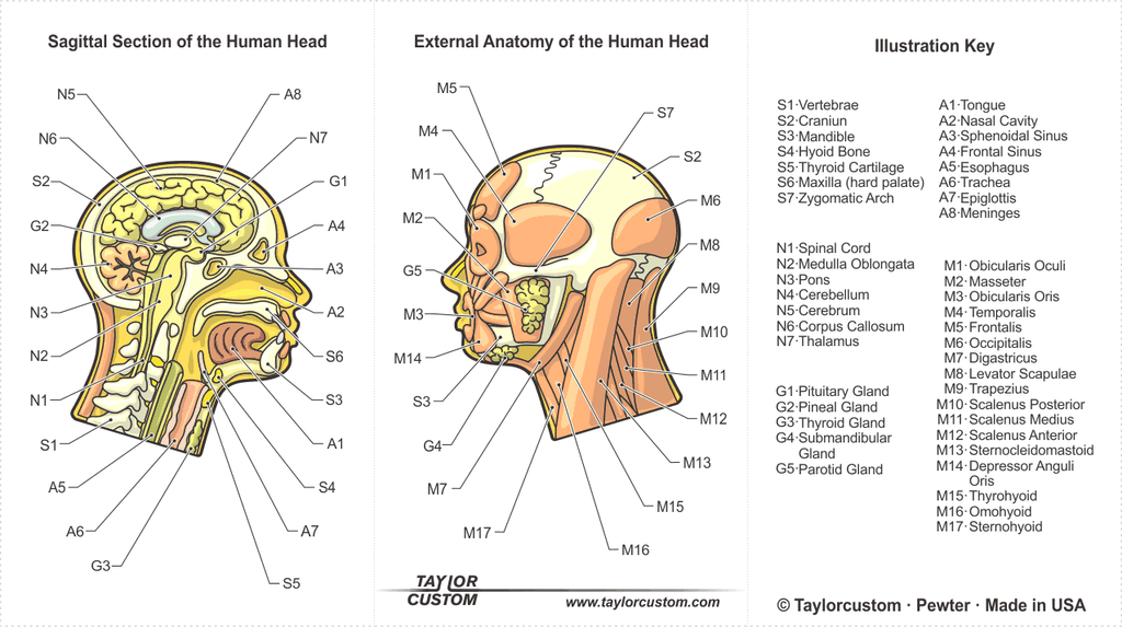 Anatomical Head product packaging