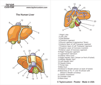 liver anatomy keychain packaging
