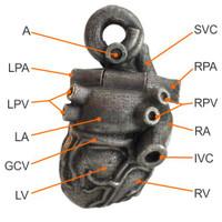 Superior Vena Cava, Right Pulmonary Artery, Right Pulmonary Vein, Right Atrium, Inferior Vena Cava, Right Ventricle, Aorta, Left Pulmonary Artery, Left Pulmonary Vein, Left Atrium, Great Cardiac Vein, Left Ventricle