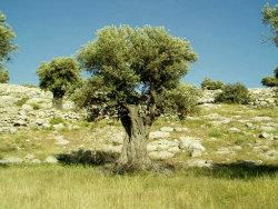 olive-tree-web.jpg