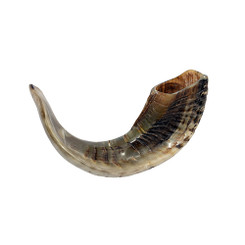 Full Polished Ram Horn Kosher Shofar