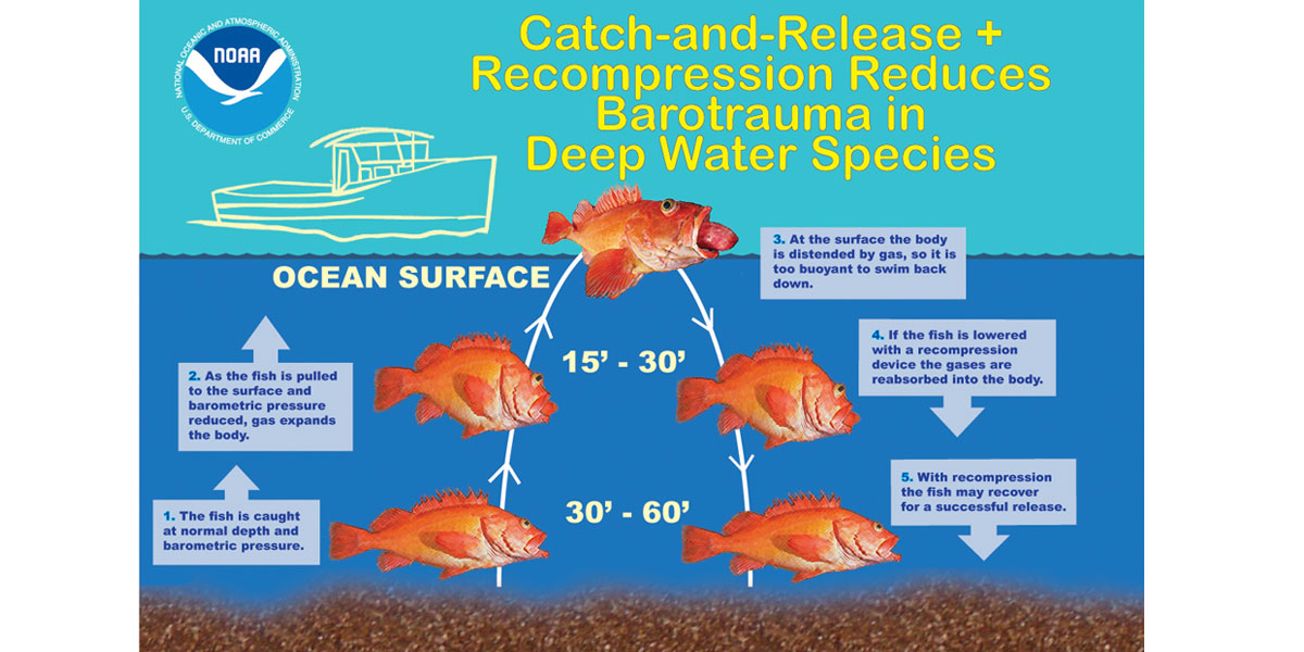 NOAA Recompression helps Barotrauma Stricken Fish