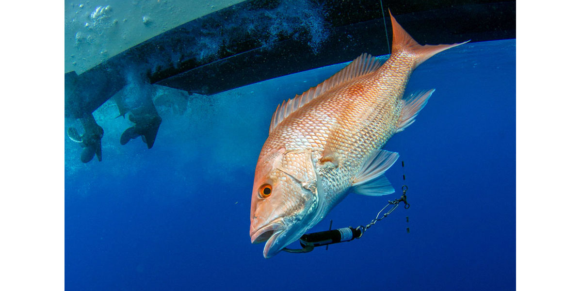 SeaQualizer Red Snapper Release by Adrian Gray