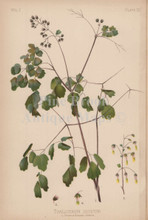 Early Meadow Rue Thalictrum Dioicum Botanical Print Meehan 1879