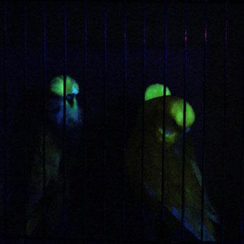 don-burkes-glow-budgies-show-budgies-350.jpg