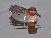 Greenwing Teal pattern