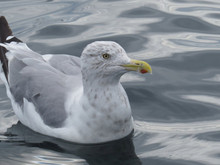 Herring Gull Decoy Pattern