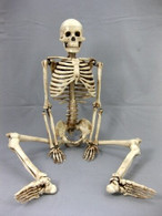 "Harvey Jr. Skeleton, 33.5"" tall, 2nd class, AGED version"
