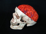 "Skull ""Aged"" with Bloody Brain"