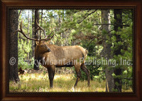 Double Check Framed Elk Wildlife Print - Mitchell Mansanarez Framed Giclee
