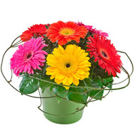 Samba - Mixed Gerberas in a Ceramic Container
