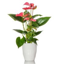 Dark Pink Anthurium Plant