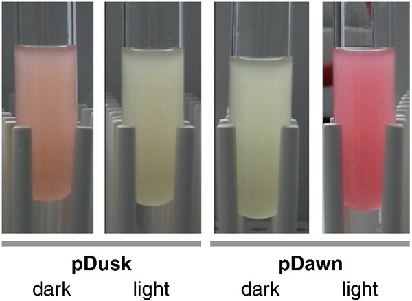pDusk and pDawn - Light controlled fluorescent protein expression