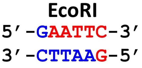 Restriction Enzyme EcoRI 50uL