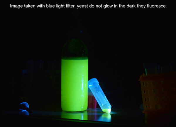 Engineer Any Yeast to Fluoresce