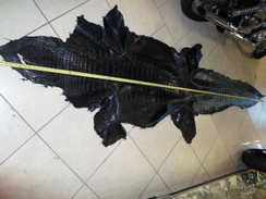 Alligator Shin Hide 12' Black leather hide Florida swamp gator Tagged Legal