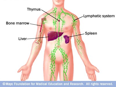 The Lymphatic System Herbs Etc