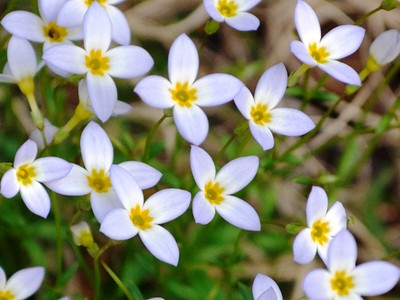 Common Bluets