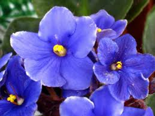 Blue Violet For Sale