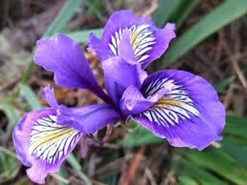 Blue Flag Iris For Sale