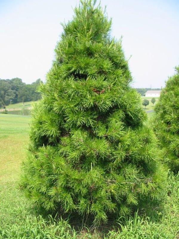 Virginia Pine Tree