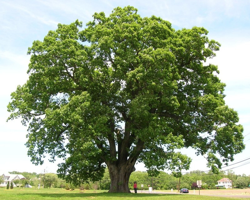 White Oak Tree