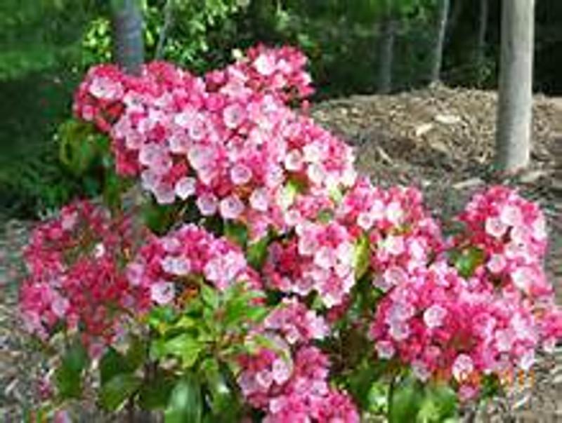 mountain laurel for sale online
