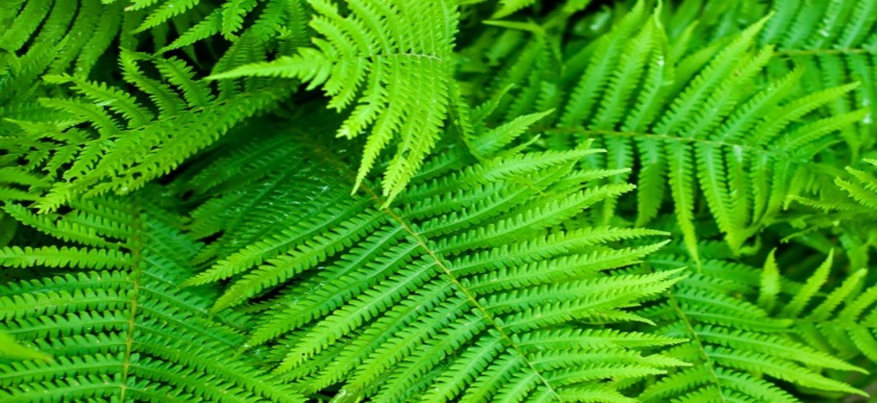Buy Fern Plants