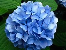 Blue Hydrangea