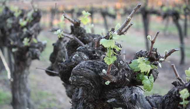 Spring in the vineyard