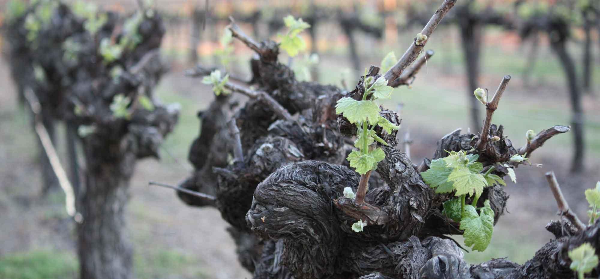 Old Huntington Vines