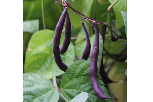 Royalty Purple Pod Bush Bean - Organic