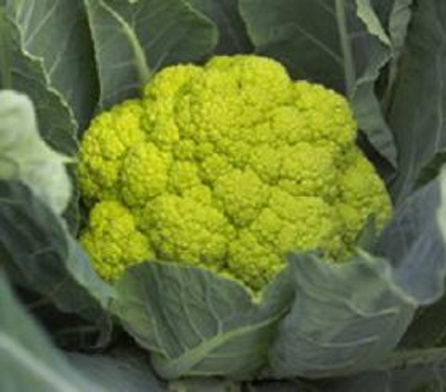 Macerata Green Cauliflower
