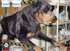 the business end of a rotty!