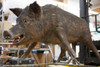 animatronic boar, sow or pig