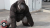 Full body photo of this Gorilla suit working