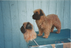 Brussels Griffon Dog Replicas created from this body set